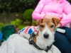 Toby the Jack Russell from Castledawnson
